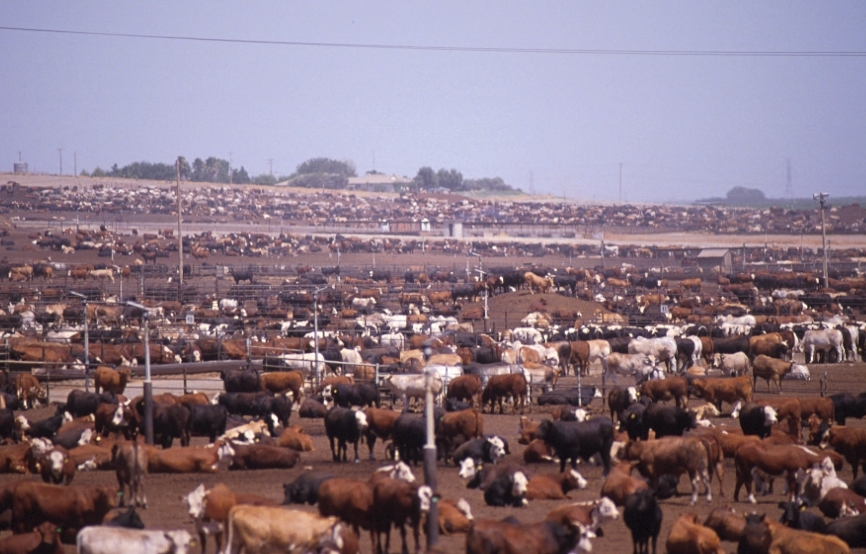 Inhumane Practices of Commercial Livestock Farms