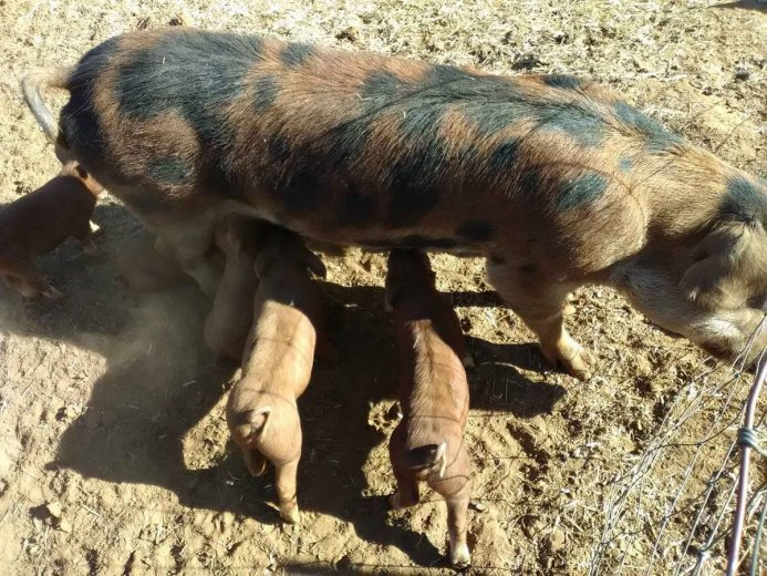 Livestock, Poultry, Frozen Chicken, Ostrich, Pigs & Animal Feed For Sale Whatsapp +27631521991