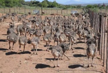 OSTRICH CHICKS AND THE FRESH FERTILE EGGS FOR SALE
