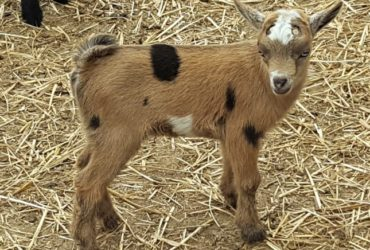Registered Nigerian Goat herd for sale