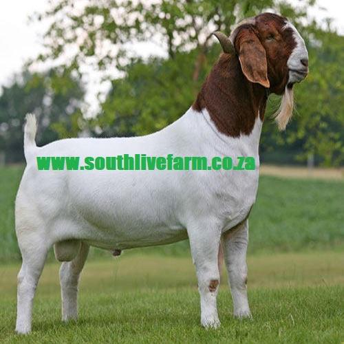 Boer Goat, Kalahari Red Goat,