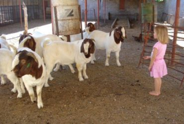 Livestock Classified Ads – Agricultural Livestock Classified