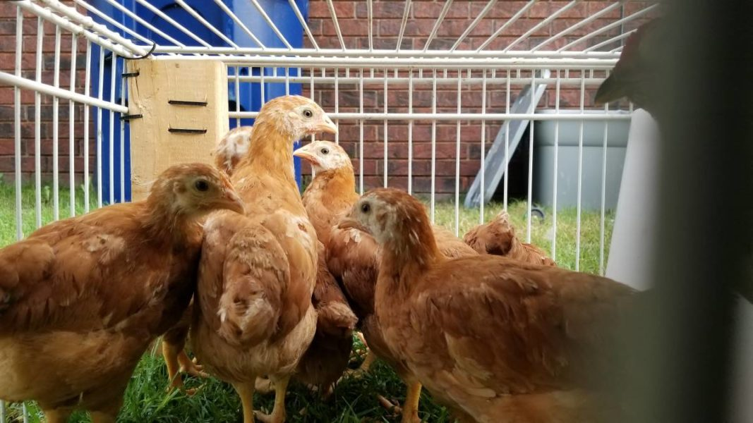 Chicks, egg & meat layer Hens, chicken of all species for sale whatsapp +27734531381