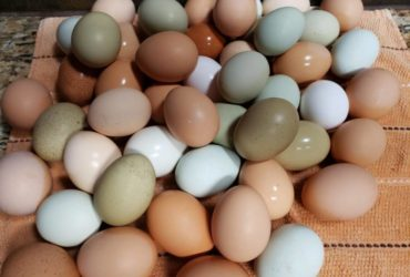 Best Quality Organic Fresh Chicken Table Eggs and  Fertilized Hatching Eggs whatsapp 27734531381