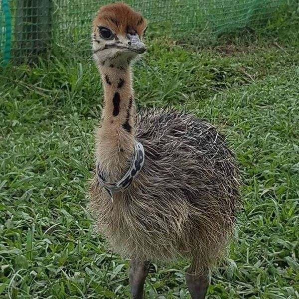 Ostrich chicks and ostrich fertile eggs for sale whatsapp  27734531381