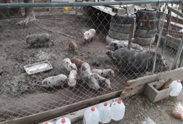 Full grown pig and young piglets available for sale whatsapp +27734531381