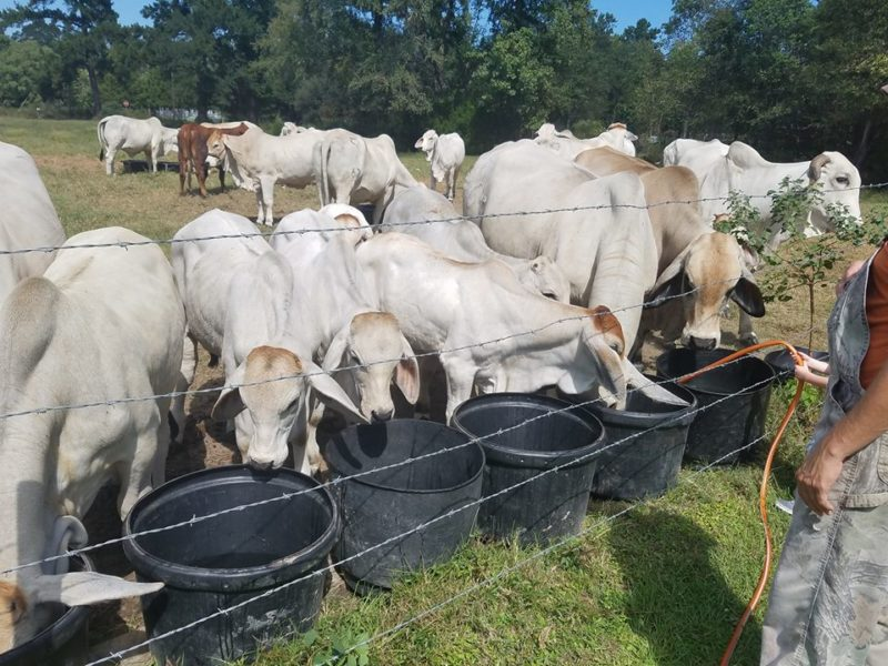 Holstein and brahman Cattle and calves for sale