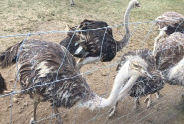 Buy Ostrich Chicks,eggs And Feathers For Sale