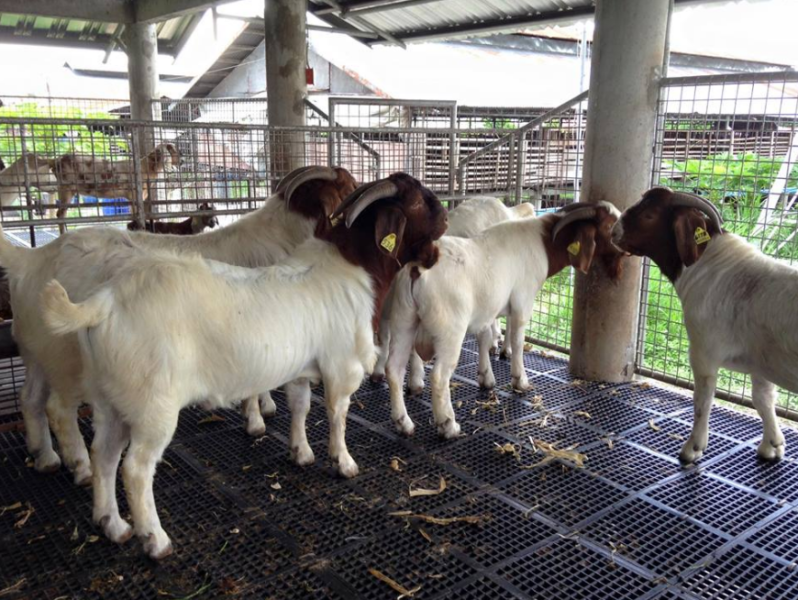 Boer Goats, Kalahari Red Goats and Savanna Goats – Call Whatsapp 27810876009