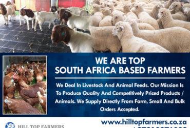Boer Goats, Kalahari Red Goats and Savanna Goats – Call Whatsapp 27810876009