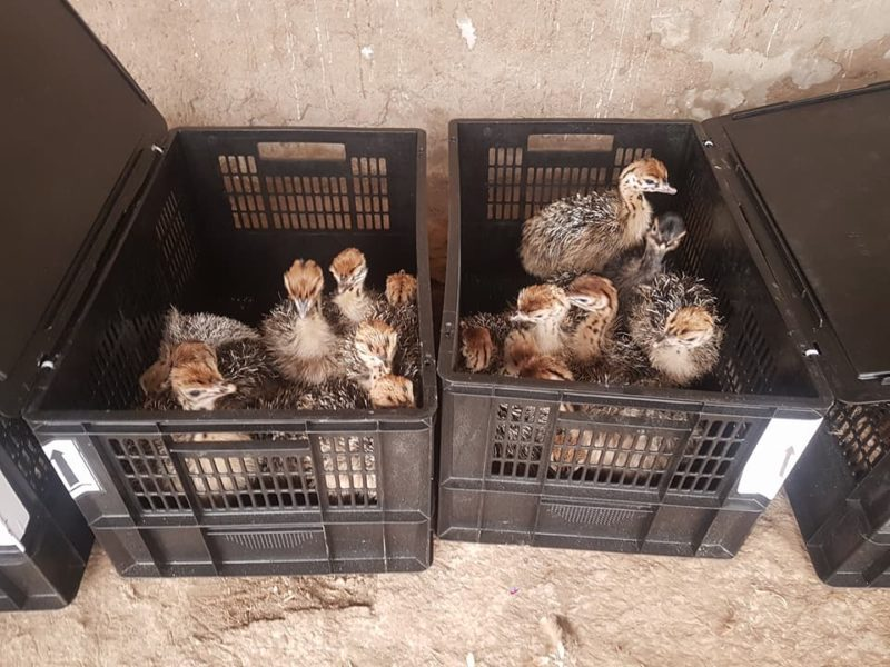 Black Neck Ostrich Chicks and Eggs, Point Of Lay Hens and Table Eggs Call Whatsapp 27810876009