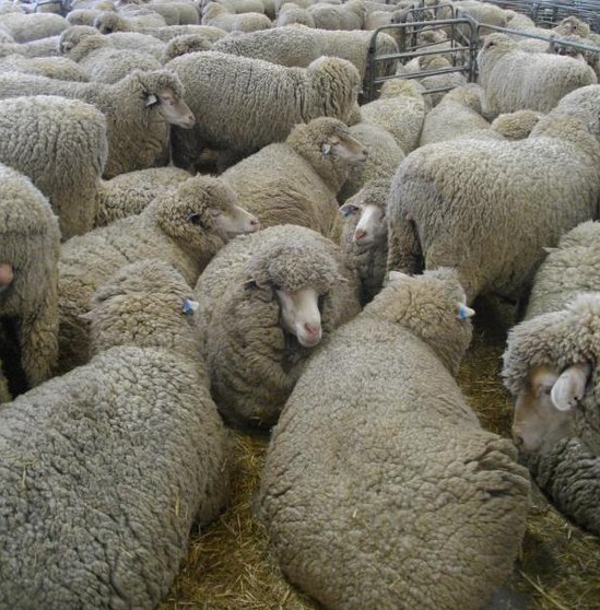 Merino sheep for sale
