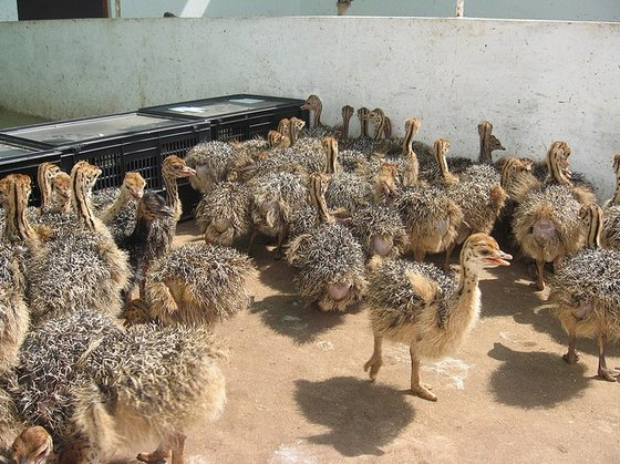 ostrich chicks and fertile ostrich eggs for sale 2 to 3 ...