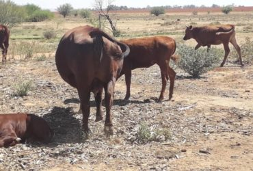 South African cattle and calves suppliers
