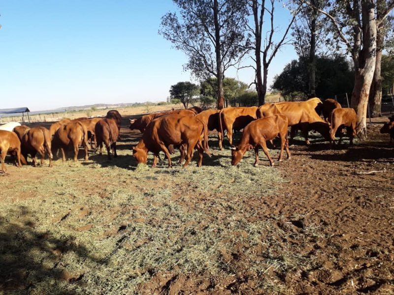 South African Beef and Dairy Cattle suppliers