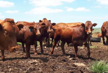 Order Beef and Dairy cattle online