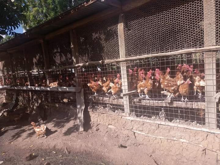 Where to order Day old and layer chickens