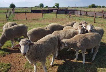 Order dorper and Merino lambs online