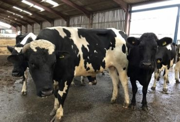 Buy Beef and Dairy cattle online