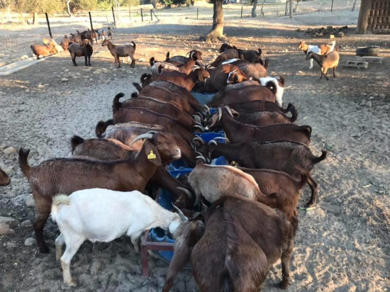 Where to order Boer and Kalahari goats