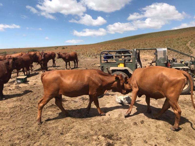 Where to order Beef and Dairy cattle