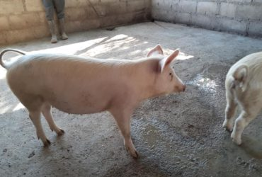 South African Large white pigs and piglets supplier