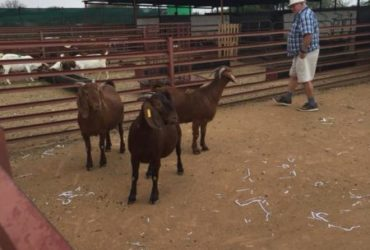 Boer and Kalahari goats for sale