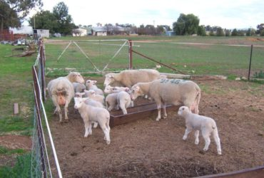 Merino sheep for sale whatsapp +27631521991