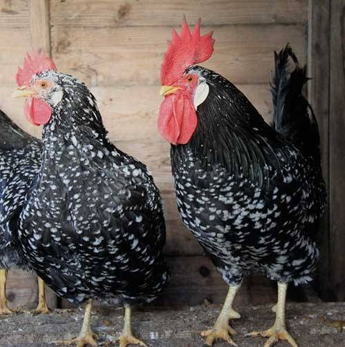 Ancona chickens for sale whatsapp +27631521991