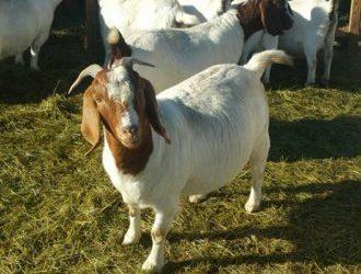 Boer goats for sale whatsapp +27631521991