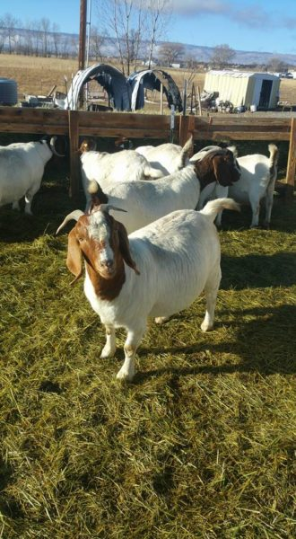 Boer goats for sale whatsapp +27631521991