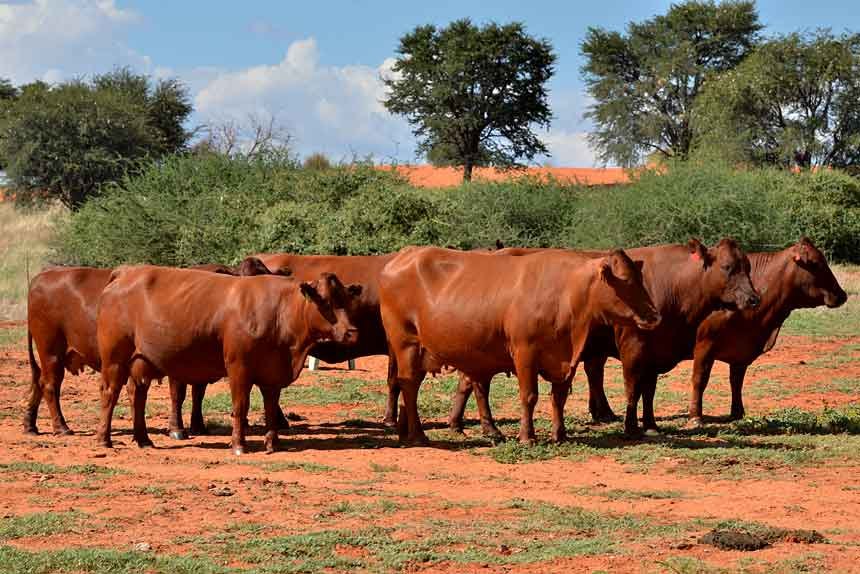 Bonsmara cow for sale whatsapp +27631521991