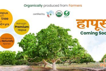 Buy Certified Organic Alphonso Mango Online