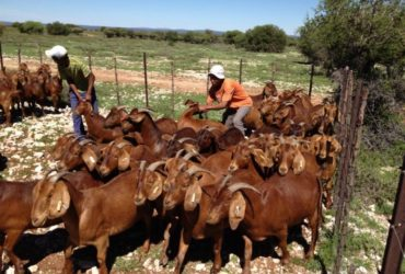 -Top quality Live Sheep, Goats and Cattle ( Steer, Cows & Calf). -All wights are available.