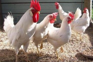 Leghorn chickens for sale whatsapp +27631521991