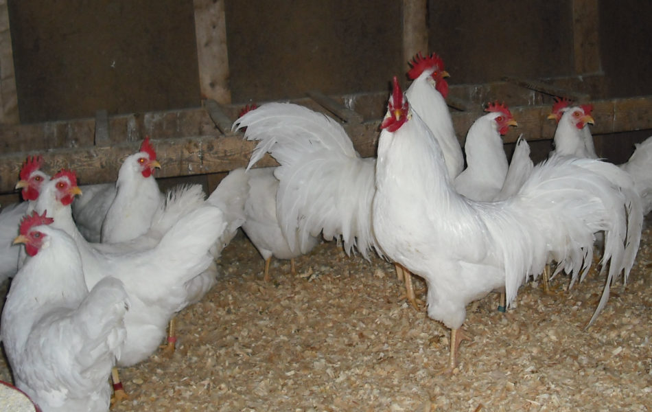 Plymouth Layers Rock chickens for sale whatsapp +27631521991
