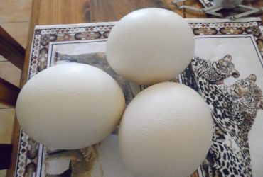 Ostrich Fertile Eggs for sale whatsapp +27631521991