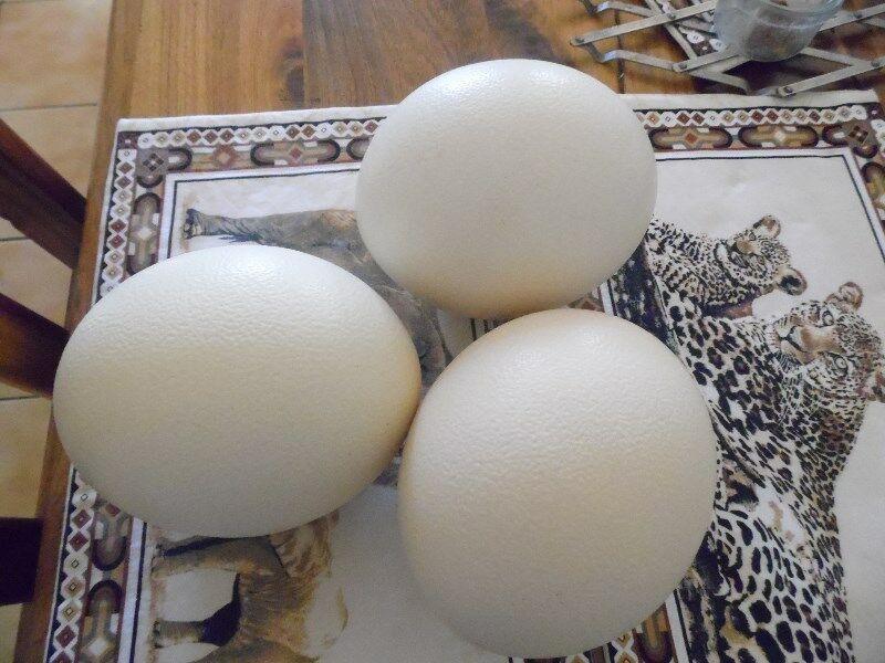 Ostrich Fertile Eggs for sale whatsapp +27631521991