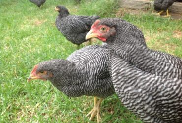 Plymouth Rock chickens for sale whatsapp +27631521991