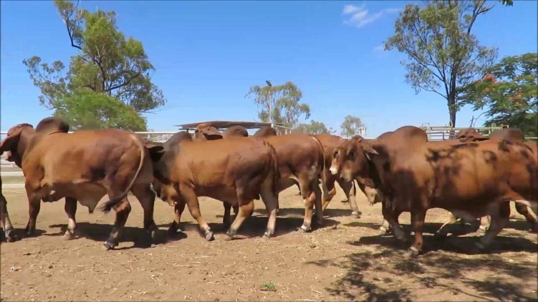 Red Brahman cattle for sale whatsapp +27631521991