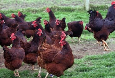 Rhode Island Red chickens for sale whatsapp +27631521991