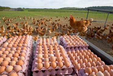 Chickens Table Eggs for sale whatsapp +27631521991