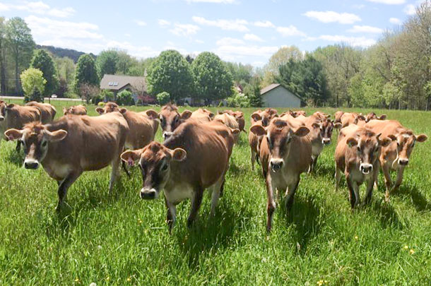 Jersey Herd cows for sale whatsapp +27631521991