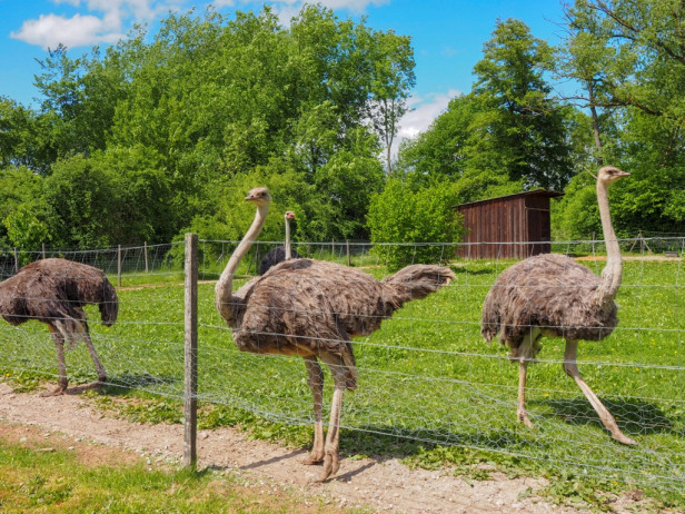 ostrich , peacocks ,for sale