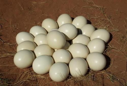 Fertile Ostrich Hatching Eggs for sale
