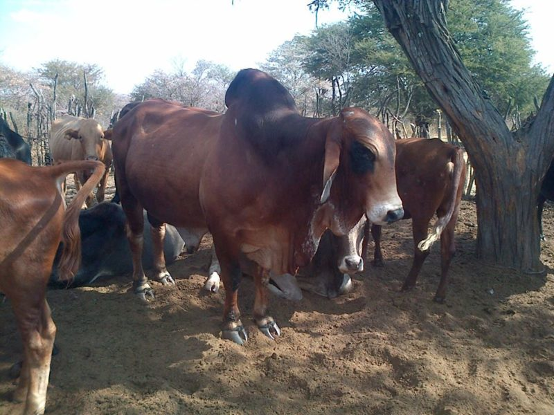 Livestock, Cattle   Bonsmara, Brahman and Nguni, Boer Goats, Lambs, Sheep