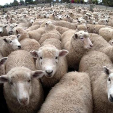 Cheap Awassi Sheep /Fat Tail Awassi Sheep /Live Healthy Sheep For Sale