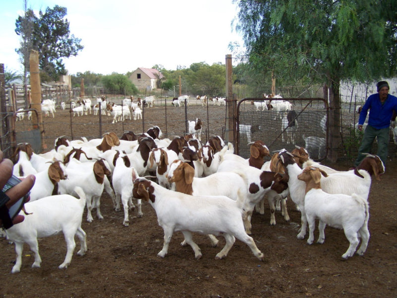 Boer and Kalahari goats Mpumalanga