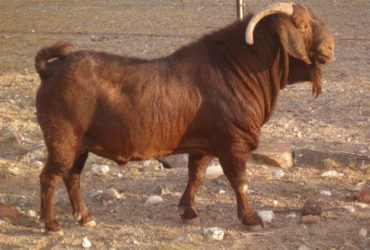 120 Kalahari red goats for sale