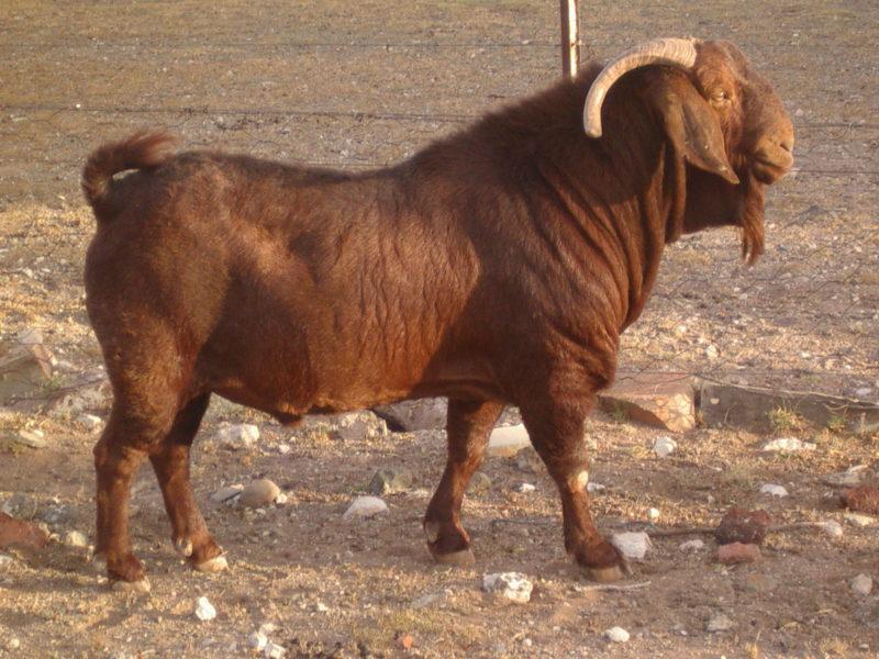 120 Kalahari red goats for sale